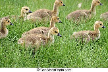 Gaggle of Canada Geese goslings - a gaggle of Canada Geese...