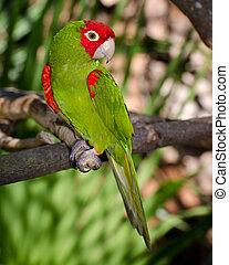 rojo, verde, loro, el roosting, rama