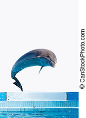 dolphin jumping   - dolphin jumping high from bue water