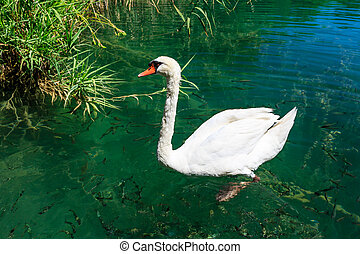 Beautiful Swan Gliding on Transparent Water Surface of Krka...