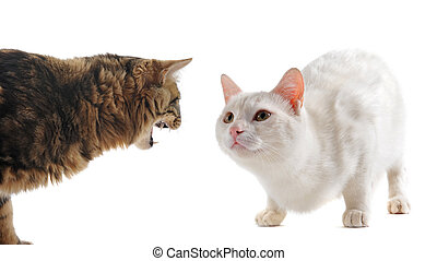 conflict between cats - picture of two cats in a conflict in...