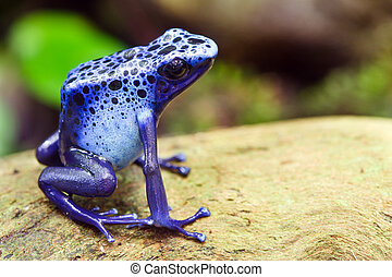 Blue poison dart frog, Dendrobates azureus, in its natural...