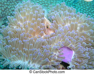 Pink Anemone Fish in Tao