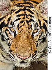 tigre, figure