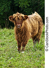 scottish highland calve