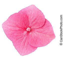 Hydrangea flower - Macro of single pink hydrangea flower on...
