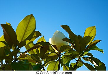 magnolia, árbol