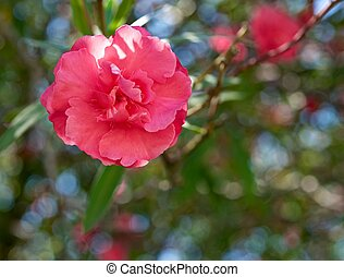 Oleander flower, a bright pink color, hiding from the sun in...