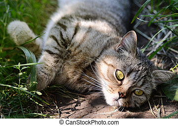 Pretty Cat or Kitten Lying in Grass, Outdoor Shot at Sunny...