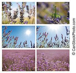 Lavander set. - Set of six pictures with lavander closeups,...