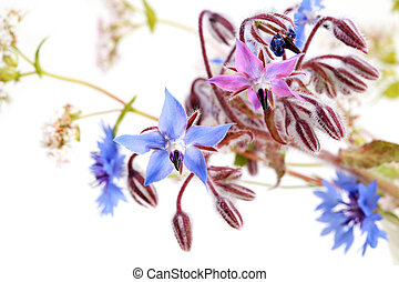 wild blue flowers on white