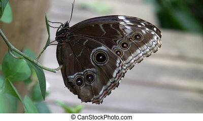 Butterfly Blue Morpho flies away - Side view of a brown...