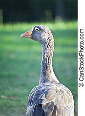 Wild Goose - Wild goose walking in the park