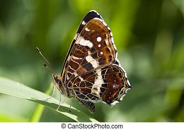 Butterfly - butterfly- macrophoto