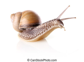 garden snail Helix aspersa isolated on white background