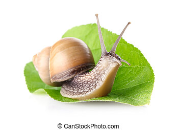 garden snail Helix aspersa on green leaf isolated white...