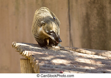 Ringtailed Coati walking on top of a wooden deck