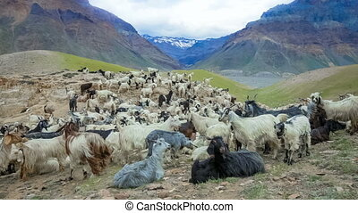 Mountain goats, Spiti Valley