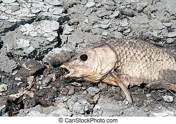 Dead fish on dry wetland - Dried carcass of dead fish on...
