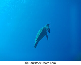 green sea turtle in Okinawa