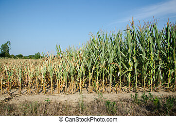 Drought damaged corn - Field of corn damaged during drought...