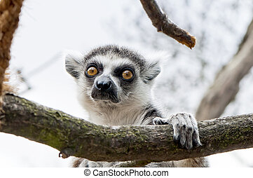 Ring-tailed lemur - Closeup on the head of the Ring-tailed...