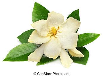 Gardenia,  gondhoraj, o, flor
