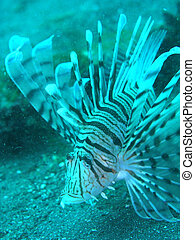 Lion fish in japan