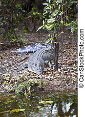 Large Saltwater Crocodile - Large saltwater crocodile,...