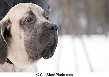 Mastiff dog - The 6 month puppy of mastiff dog