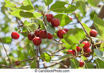 fresh berry of cherry on plant - fresh red berry of cherry...
