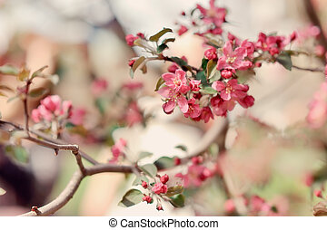 blossoming trees - branches of a blossoming fruit tree