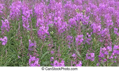 Rosebay Willowherb - meadow flowers - Blooming purple...