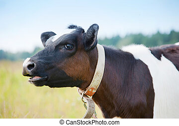 Cow with open mouth