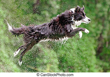 Wet border collie dog in midair after jumping off dock into...