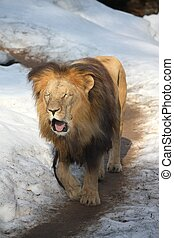 Angolan lion in winter - Angolan lion walking in the snowand...