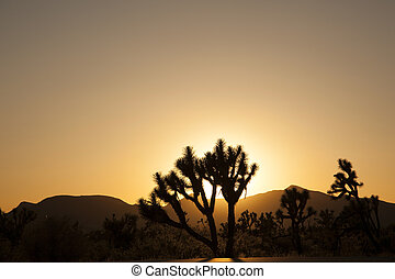 joshua tree in sunset
