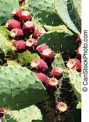 prickly pear (opuntia) cactus with fruit