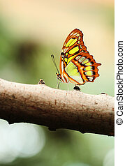 Red lacewing butterfly lat Cethosia biblis resting on branch...