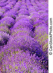 color lavender field Natural and herbal landscape