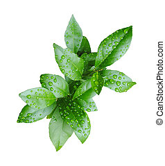 Fresh green lemon leaves with water drops isolated on white...