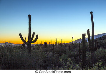 cactus with golden sunset and blue sky