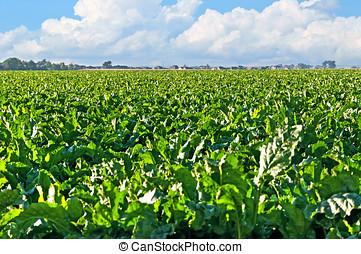 Sugarbeet Field Central Colorado - Large field of sugar...