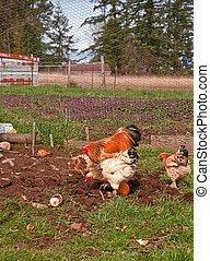 Buff Braham Chickens and Rooster in Pen - This rural life...
