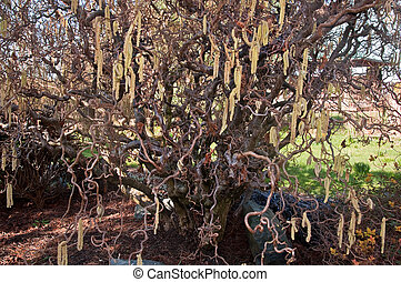 Contorted Filbert Tree - This stock image is a contorted...