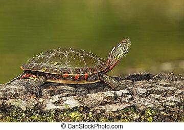 Midland Painted Turtle on a Log