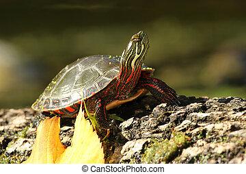 Painted Turtle Basking on a Log - Midland Painted Turtle...