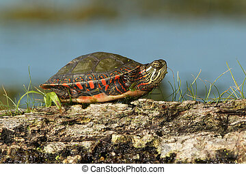 Painted Turtle Basking on a Log - Midland Painted Turtle...