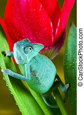 Chameleon on the tulip - Chameleons belong to one of the...