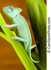 Dragon - Chameleons belong to one of the best known lizard...